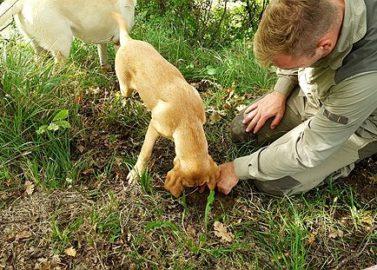 Zoek truffels samen met de honden