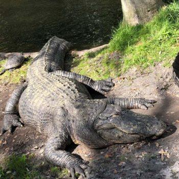 Bush Garden pretpark: krokodil
