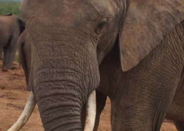Spot de kuddes olifanten
