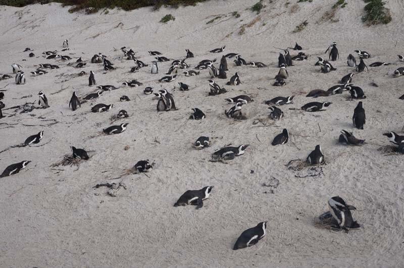 pinguïns op Boulders Beach