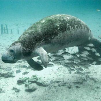Zwem tussen de zeekoeien
