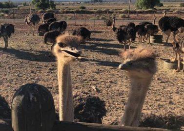 Logeren op de struisvogelboerderij