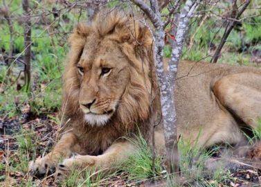 Een leeuw zien op echte safari!