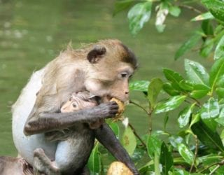 de aapjes in het mangrovebos