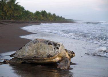 Reuzenschildpadden in Tortuguero