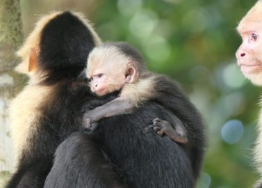 Manuel Antonio National Park: witte kapucijnapen