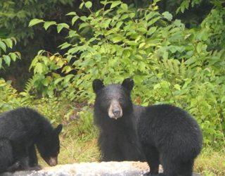 Wilde beren spotten in Duchesnay