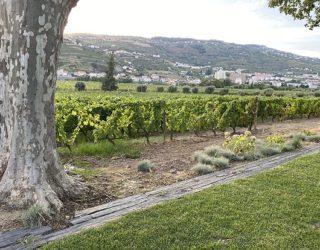 Mooie wijnranken in Portugal