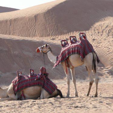 Kamelen in de woestijn Dubai