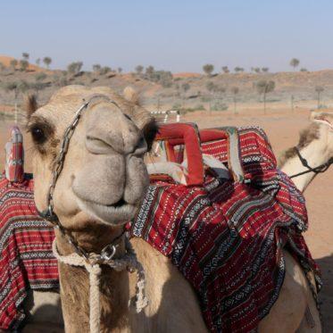 Kamelen in de woestijn van Dubai